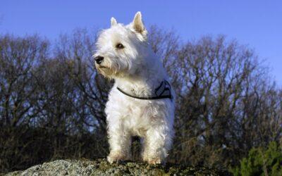Criadores de West Highland White Terrier