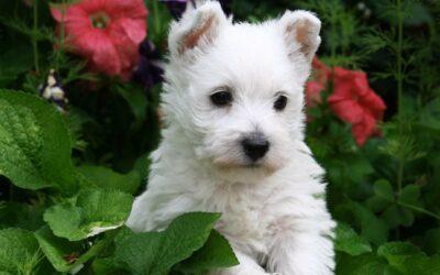West Highland White Terrier cachorro