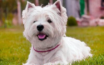 West Highland White Terrier características